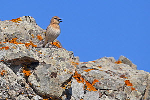 Isabelline wheatear (Oenanthe isabellina) calling, Lesvos, Lesbos, Greece, April - Robin Chittenden