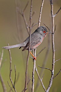 Dartford warbler (Sylvia undata) Spain, March  -  Robin Chittenden