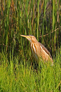Little bittern (Ixobrychus minutus) Lesvos, Lesbos, Greece, April  -  Robin Chittenden