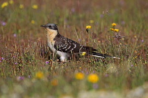 Great spotted cuckoo (Clamator glandarius) La Serena Steppes Badajoz, Extremadura, Spain, March  -  Robin Chittenden