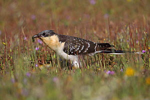 Great spotted cuckoo (Clamator glandarius) feeding on insects, La Serena Steppes Badajoz Extremadura, Spain, March  -  Robin Chittenden
