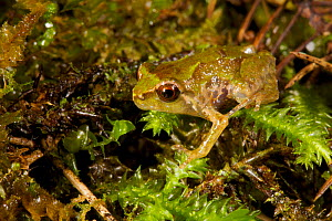 Frog found in the Foja Mountains at 1650 m altitude. Foja Mountains, Papua, Indonesia, 2007.  -  Tim Laman