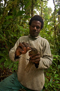 Foja Mountains RAP expedition field assistant Bastian Tawane removes a female Black Pitohui (Pitohui nigrescens) from a mist net. Papua, Indonesia, 2008. (taken during Conservation International Rapid... - Tim Laman
