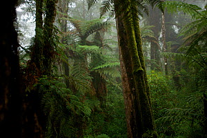 Giant tree fern forest growing on the highest reaches of the Foja Mountains, between 2150 and 2200 m elevation. Foja Mountains, Papua, Indonesia, 2008. (taken during Conservation International Rapid A...  -  Tim Laman
