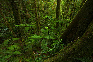 Dense ferns fill a gully in the montane forest at 1800 m in the Foja Mountains. Foja Mountains, Papua, Indonesia, 2008. (taken during Conservation International Rapid Assessment Program expedition)  -  Tim Laman