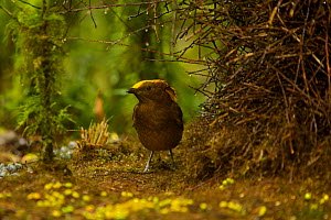 Golden-fronted / Yellow-fronted Bowerbird (Amblyornis flavifrons) male at his bower at approx 1700 m. Endemic species to the Foja Mountains, Papua, Indonesia, 2008. (taken during Conservation Internat...  -  Tim Laman