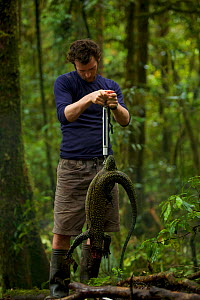 Mangrove / Blue-tailed Monitor (Varanus doreanus)female. Paul Oliver weighs the monitor lizard. Foja Mountains, Papua, Indonesia, 2008. (taken during Conservation International Rapid Assessment Progra... - Tim Laman