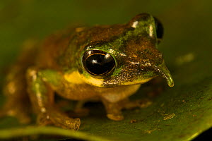 Long-nosed Tree Frog (Litoria pinocchio). New species discovered by Paul Oliver at 1200 m elevation in the Foja Mountains. Foja Mountains, Papua, Indonesia, 2008. (taken during Conservation Internatio... - Tim Laman