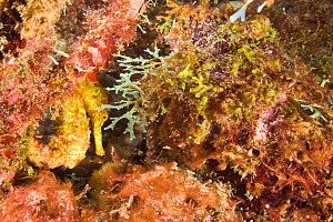 Northern / lined seahorse (Hippocampus erectus), Grenada, West-Indies, Caribbean, May. - Michele Westmorland