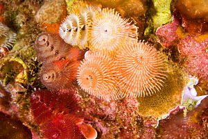 Christmas tree worm (Spirobranchus giganteus). St Vincent, West-Indies, Caribbean, May.  -  Michele Westmorland
