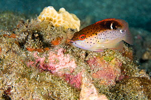 Juvenile Coney (Cephalopholis fulva) on reef, St Vincent, West-Indies, Caribbean, May.  -  Michele Westmorland