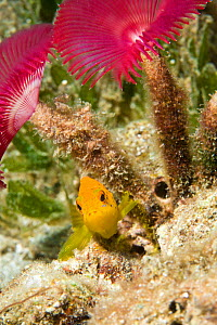 Juvenile Coney (Cephalopholis fulva) in yellow phase, hiding beneath a tube worm. St Vincent, West-Indies, Caribbean, May.  -  Michele Westmorland