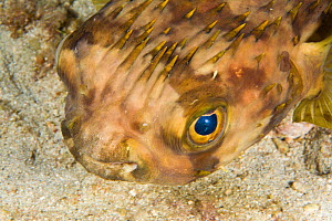 Balloon fish (Diodon holocanthus) on seabed, St Vincent, West-Indies, Caribbean, May.  -  Michele Westmorland