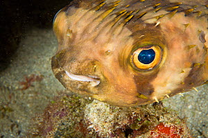 Portrait of Balloon fish (Diodon holocanthus), St Vincent, West-Indies, Caribbean, May.  -  Michele Westmorland