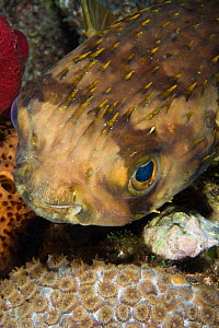 Portrait of Balloonfish (Diodon holocanthus), St Vincent, West-Indies, Caribbean, May.  -  Michele Westmorland