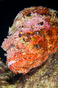Portrait of Spotted scorpionfish (Scorpaena plumieri), St Vincent, West-Indies, Caribbean, May.  -  Michele Westmorland