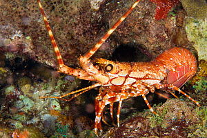 Long armed / Red Banded Lobster (Justitia longimana). St Vincent, West-Indies, Caribbean, May.  -  Michele Westmorland
