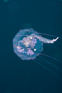 Purple stinger / Warty jellyfish (Pelagia noctiluca). St Vincent, West-Indies, Caribbean, May.  -  Michele Westmorland