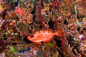 Glasseye snapper (Heteropriacanthus cruentatus). St Vincent and the Grenadines, West-Indies, Caribbean, May.  -  Michele Westmorland