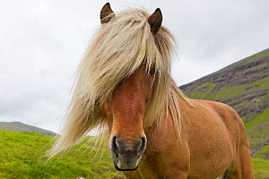 Iceland Pony (Equus caballus) portrait. Faroe Islands, July.  -  Brent Stephenson