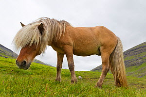 Iceland Pony (Equus caballus) low angle profile portrait. Faroe Islands,  July.  -  Brent Stephenson