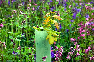 Sessile Oak tree (Quercus petraea) sapling planted in plastic tube to protect from sheep, amongst Bluebells and Red campion in woodland previously deforested, UK  -  David Woodfall