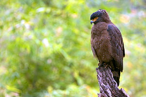 Crested serpent eagle (Spilornis cheela) perched in rain, India  -  David Woodfall