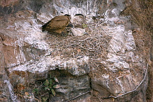 Long billed vulture (Gypus indicus) at nest on cliff ledge with young chick. Critically threatened Indian bird of prey due to chemicals used in agriculture, India - David Woodfall