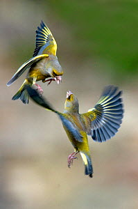 Male Greenfinches (Carduelis chloris) squabbling in flight. Dorset, UK, March.  -  Colin Varndell