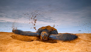 Leatherback Turtle (Dermochelys coriacea) covering her nest with sand after egg laying. Cayenne, French Guiana, July.  -  Graham Eaton