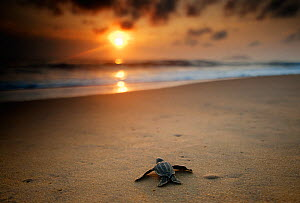 Leatherback Turtle  (Dermochelys coriacea) hatchling crossing a beach to get to the sea. Cayenne, French Guiana, July.  -  Graham Eaton