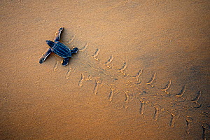 Leatherback Turtle Hatchling (Dermochelys coriacea) crossing a beach towards the sea, seen from above. Cayenne, French Guiana, July.  -  Graham Eaton