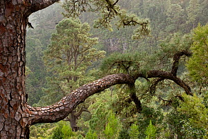 Canary Pine (Pinus canariensis) forest. La Palma Island, Canary Islands, February. - Martin Gabriel