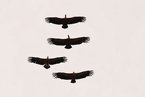 Four Griffon Vultures (Gyps fulvus) in flight, silhouetted overhead. Monfrague National Park, Extremadura, Spain, March. - Martin Gabriel