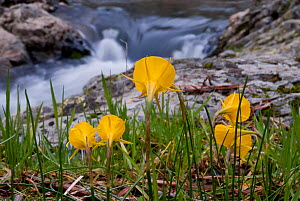 Hoop Petticoat Daffodil (Narcissus bulbocodium) flowering by stream. Extremadura, Spain, March.  -  Martin Gabriel