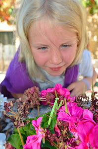 Child watching a Praying Mantis (Mantodea) on flowers. France, Europe, August. Model released.  -  Dan Burton