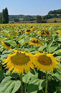 Sunflowers (Helianthus annuus) in field. Lot Valley, south west France, August.  -  Dan Burton