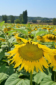 Sunflower (Helianthus annuus) in field. Lot Valley, south west France, August.  -  Dan Burton