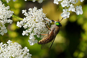 Horsefly / Horse fly / Cleg fly (Tabanus promesogaeus) feeding from Wild carrot / Queen Anne's lace (Daucus carota) flowers, Lesbos / Lesvos, Greece, May.  -  Nick Upton