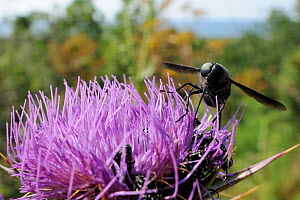 A nectar-feeding species of Horse fly (Pangonius funebris), a carpenter bee mimic, using its long proboscis to forage on Milk thistle (Carduus marianus) near the coast with the sea in the background,... - Nick Upton