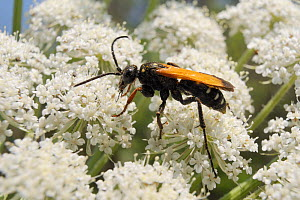 Female Spider wasp (Cryptocheilus variabilis) feeding on Wild carrot / Queen Anne's lace (Daucus carota) flowers, Lesbos/ Lesvos, Greece, May.  -  Nick Upton