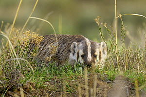 American Badger (Taxidea taxus). Yellowstone National Park, Wyoming, USA, May.  -  George Sanker
