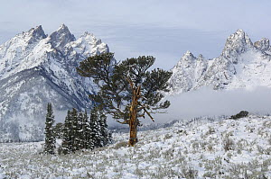 Limber Pine (Pinus flexilis). Grand Teton National Park, Wyoming, USA, October 2010. Famous patriarch tree of the Grand Tetons just after fall snowstorm. Winner: World Landscapes category in the Outdo...  -  George Sanker