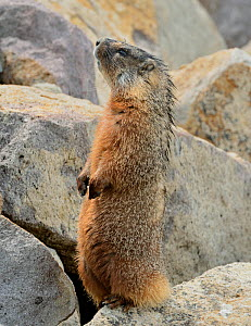 Yellow-bellied Marmot (Marmota flaviventris) standing on hind legs. Yellowstone National Park, Wyoming, USA, May.  -  George Sanker
