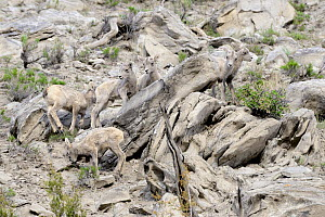 Young Bighorn Sheep (Ovis canadensis) perfectly camouflaged against rocky mountain side. Yellowstone National Park, Wyoming, USA, June.  -  George Sanker