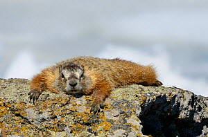 Yellow-bellied Marmot (Marmota flaviventris) basking on a rock in the sun. Yellowstone National Park, Wyoming, USA, June.  -  George Sanker