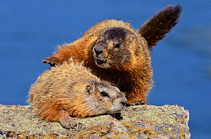 Yellow-bellied Marmots (Marmota flaviventris) mating. Yellowstone National Park, Wyoming, USA, June.  -  George Sanker
