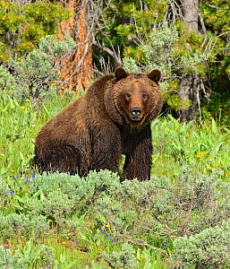 Grizzly Bear (Ursus arctos horribilis) sitting in meadowland. Grand Teton National Park, Wyoming, USA, June.  -  George Sanker