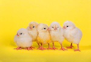 Five newly hatched chicks in a row  -  Ernie Janes