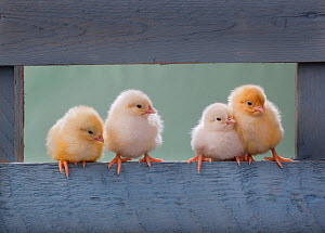 Four newly hatched chicks perched on blue fence - Ernie Janes